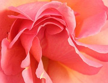 Swirled rose petals