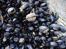 Mussels (Source: Wikipedia)