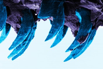 A scanning electron microscope image of limpet teeth, University of Portsmouth
