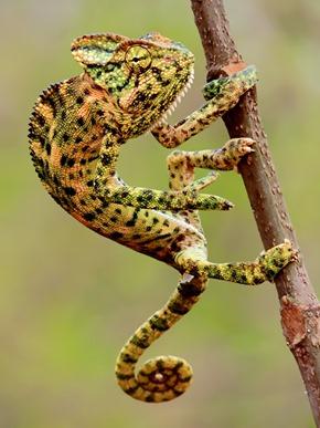Indian Chameleon in Mangaon, Raigad, Maharashtra. Photograph by Shantanu Kuveskar