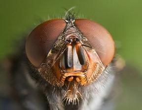 Calliphora vomitoria. Photograph by JJ Harrison