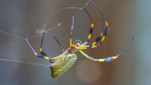 Common orb spider (Larinioides cornutus) Source: University of Akron